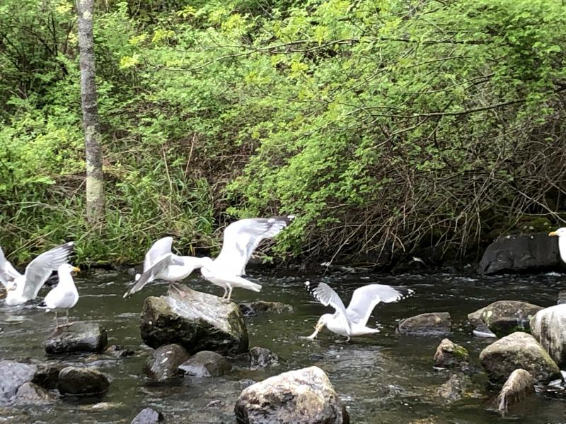 gulls, alewives, Boothbay Register