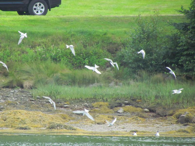 Common Terns, Boothbay Register, Jeff Wells, Pemaquid