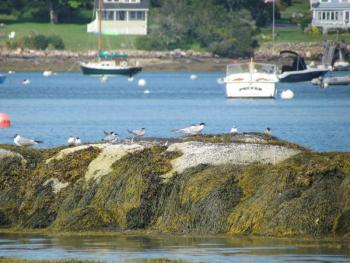 Common terns, Pemaquid, Jeff Wells, Boothbay Register