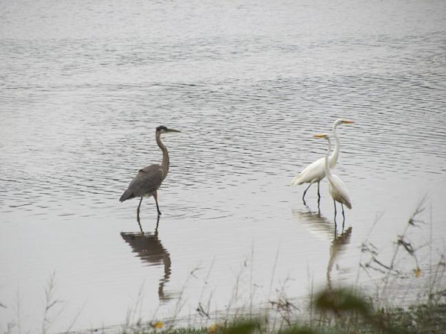 great egrets, great blue heron, Jeff Wells, Boothbay Register