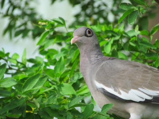 Bare-eyed pigeon, Jeff Wells, Aruba, Bonaire, Curaçao
