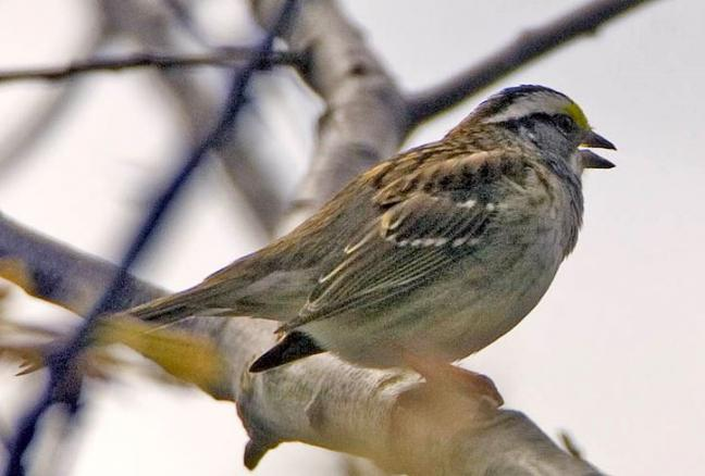 White-throated sparrow, Maine, Boothbay Register
