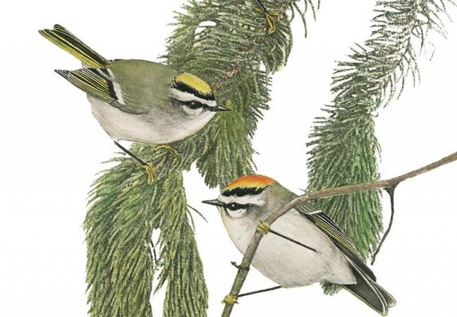 Golden-crowned Kinglets, Jeff and Allison Wells, Maine's Favorite Birds
