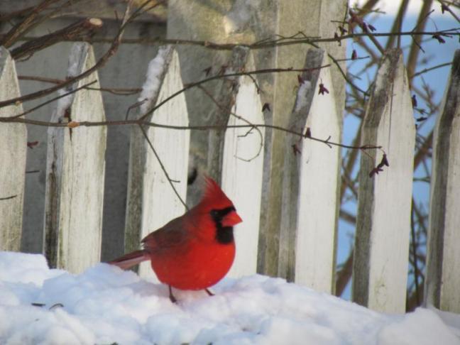 Northern Cardinal, Maine, birds, Boothbay Register, Jeff Wells