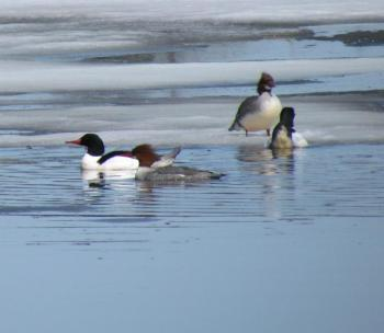 Common merganser, Jeff Wells, Boothbay Register