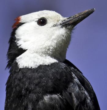 White-headed woodpecker, Kirk Rogers, Boothbay Register
