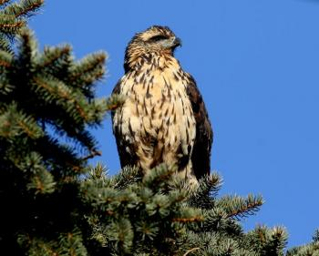 great black hawk, Boothbay Register