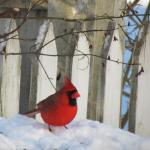 Northern Cardinal, Maine, birds, Boothbay Register, Jeff Wells