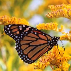 monarch, butterfly, konni wells, pemaquid point, maine