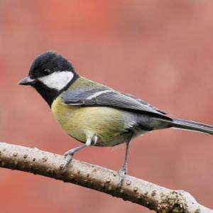 Great tit, great britain, chickadee