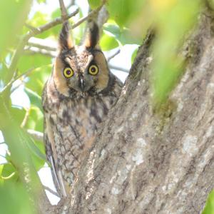 long-eared owls, Maine, Boothbay Register