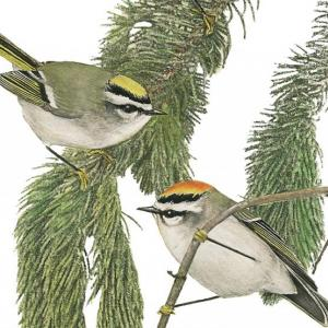 Golden-crowned Kinglets, Jeff and Allison Wells, Maine's Favorite Birds