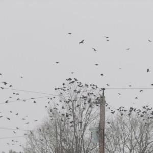 American crows, birds, Maine, Boothbay Register, Jeff Wells