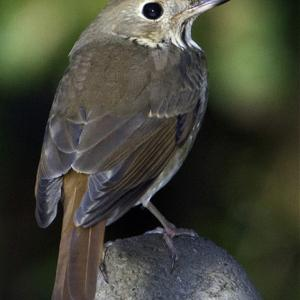 Hermit Thrush, birds, Boothbay Register, Maine