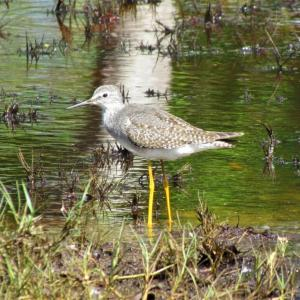 Less Yellowlegs, Boothbay Register, Year of the Bird, Jeff Wells