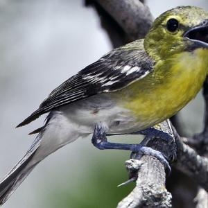 Yellow-throated vireo, the waugon