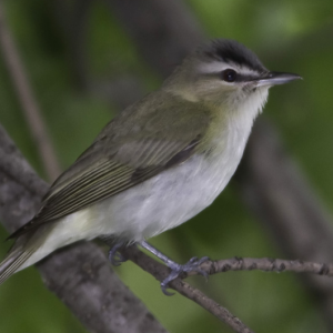 Red-eyed vireo. Boothbay Register