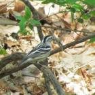 Black-and-white warbler, Jeff Wells, Boothbay Register