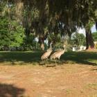 sandhill cranes, Boothbay Register, Allison Wells
